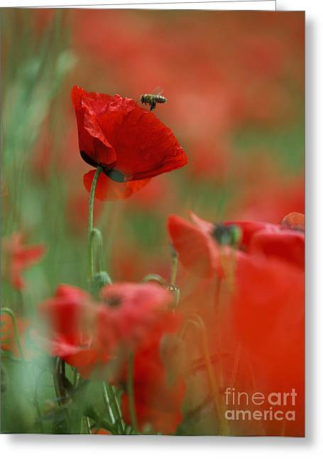 Grow Greeting Cards - Red Poppy Flowers Greeting Card by Nailia Schwarz