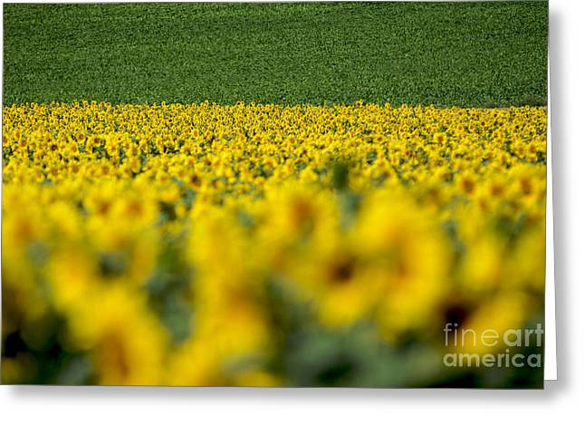 Auvergne Greeting Cards - Sunflowers Greeting Card by Bernard Jaubert