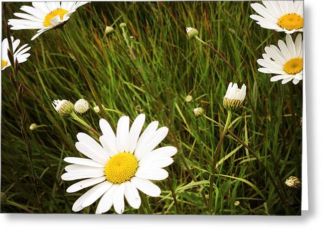 Chamomile Greeting Cards - Wild daisies Greeting Card by Les Cunliffe