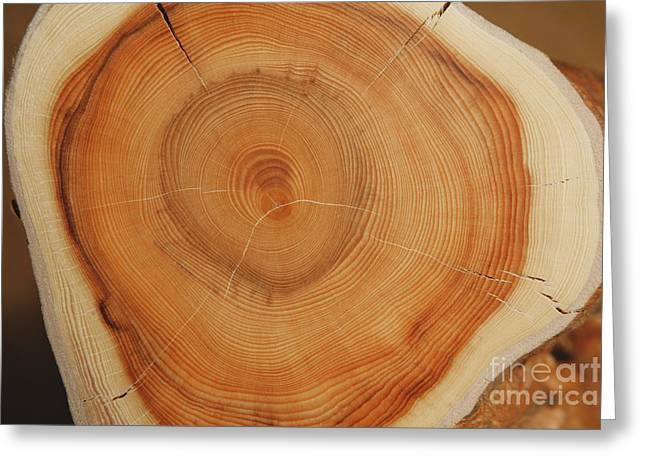Sanctification Greeting Cards - 120 Years Yew Greeting Card by Ladi  Kirn