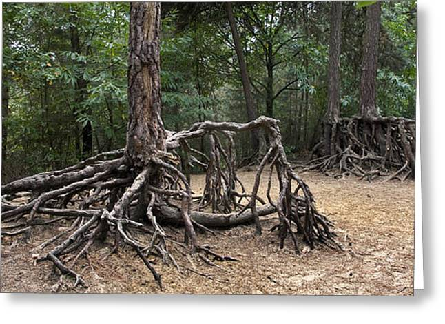 Tree Roots Greeting Cards - 120223p257 Greeting Card by Arterra Picture Library