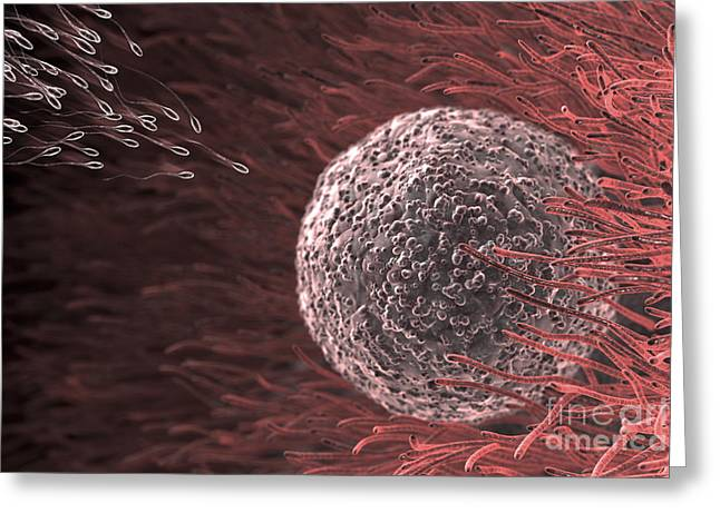 Fertilization Greeting Cards - Fertilization Greeting Card by Science Picture Co