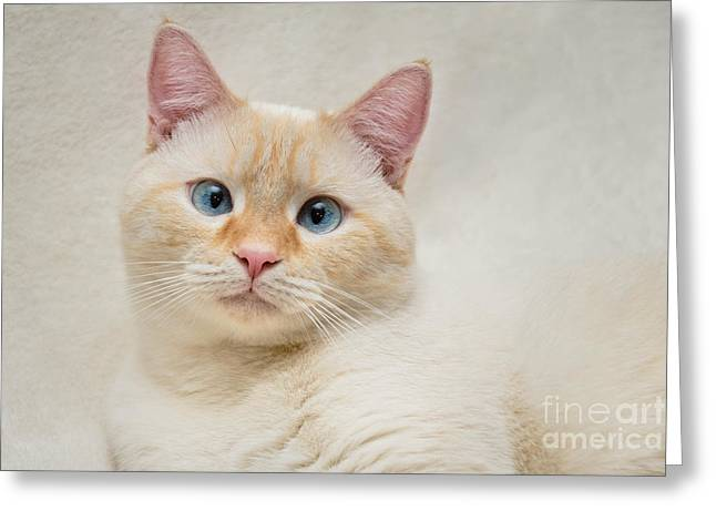 Pet Portrait Greeting Cards - Flame Point Siamese Cat Greeting Card by Amy Cicconi