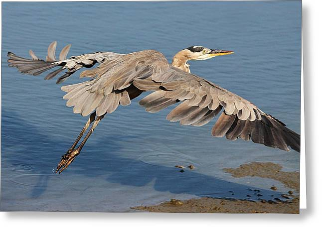 Paulette Thomas Greeting Cards - Great Blue Heron Greeting Card by Paulette Thomas