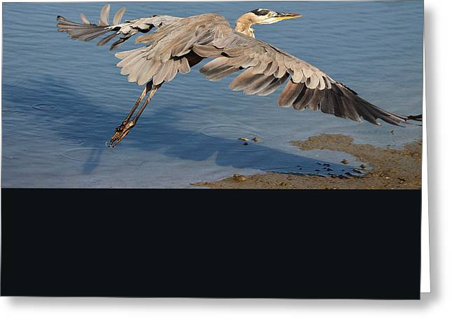 Paulette Thomas Photography Greeting Cards - Great Blue Heron Greeting Card by Paulette Thomas