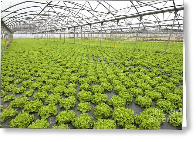 Lettuce Greeting Cards - Lettuce In A Greenhouse Greeting Card by Angel Fitor