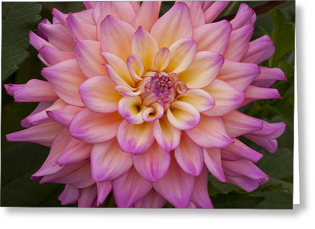 Oregon Greeting Cards - Purple Dahlia  Greeting Card by Mandy Judson