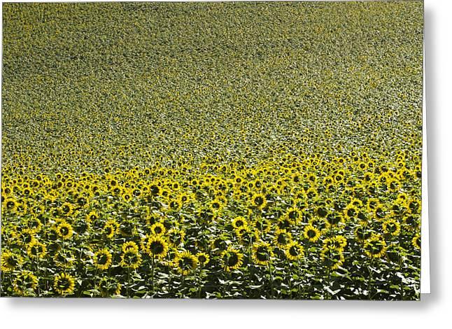 Space Flower Greeting Cards - Sunflowers Greeting Card by Bernard Jaubert