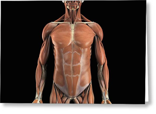 Abdominal Greeting Cards - The Muscle System Greeting Card by Science Picture Co