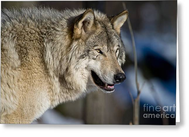 Nature Photograph Greeting Cards - Timber Wolf Greeting Card by Michael Cummings