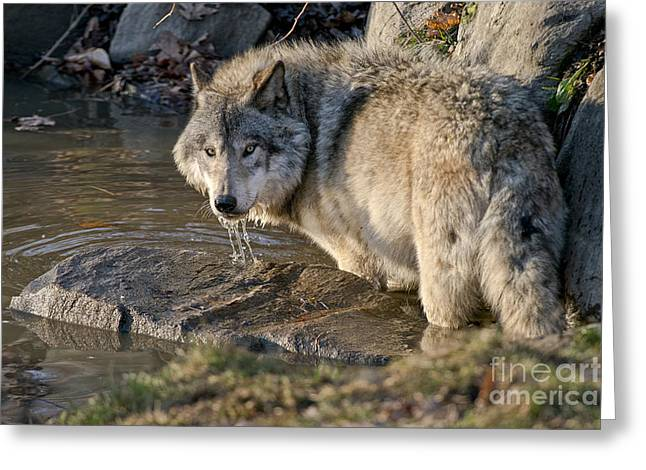 Nature Pics Greeting Cards - Timber Wolf Pictures Greeting Card by Michael Cummings