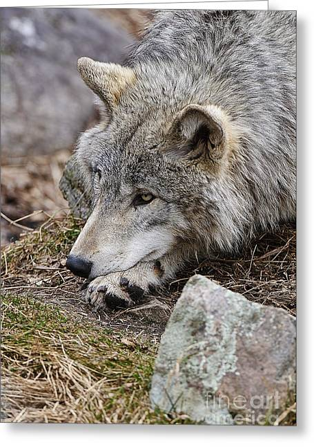 Timber Wolf Pics Greeting Cards - Timber Wolf Greeting Card by Wolves Only