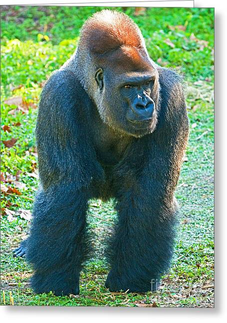 Critically Endangered Animals Greeting Cards - Western Lowland Gorilla Greeting Card by Millard H. Sharp