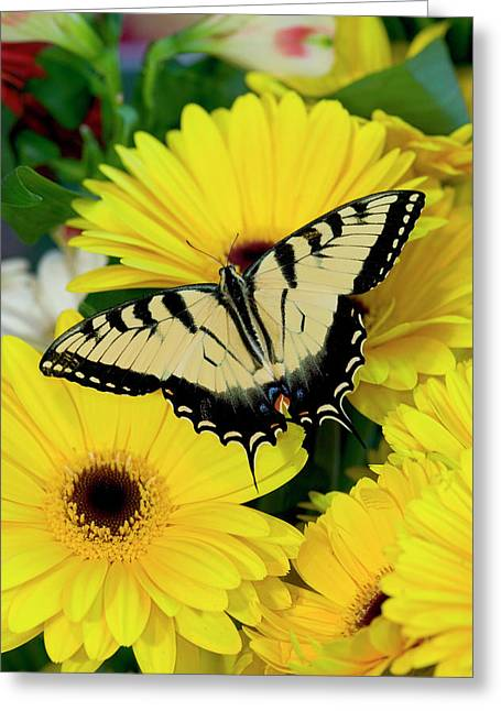 Eastern Tiger Swallowtail Papilio Greeting Card by Darrell Gulin