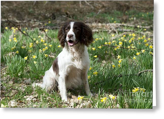 Garden Scene Greeting Cards - English Springer Spaniel Greeting Card by John Daniels