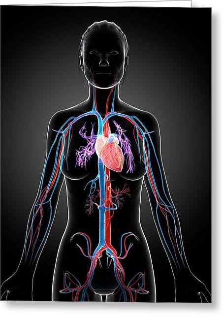 Female Vascular System Greeting Card by Sebastian Kaulitzki