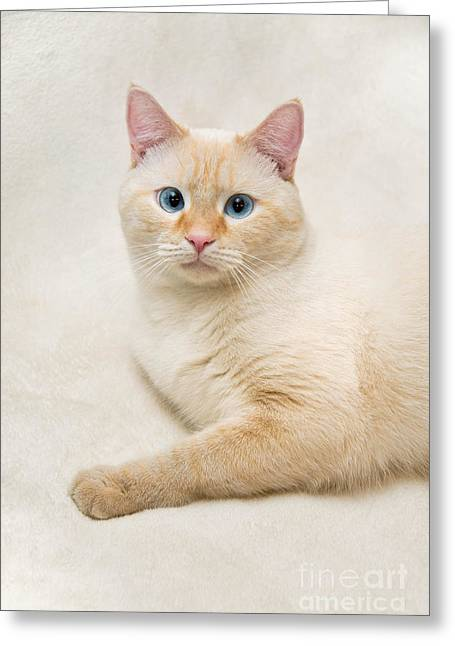 Animal Portrait Greeting Cards - Flame Point Siamese Cat Greeting Card by Amy Cicconi
