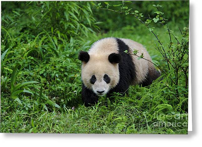 Nature Center Greeting Cards - Giant Panda Greeting Card by John Shaw