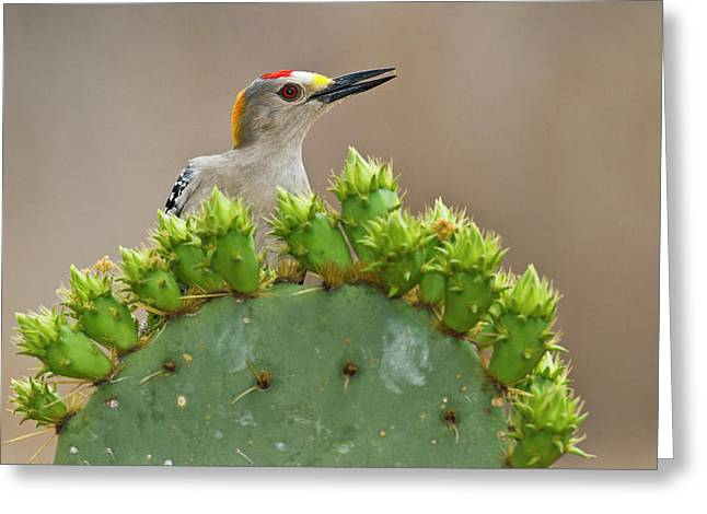 Golden-fronted Woodpecker (melanerpes Greeting Card by Larry Ditto