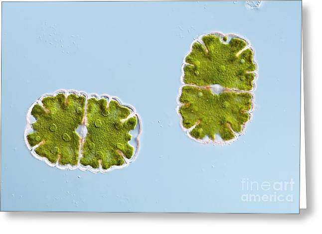 Desmid Greeting Cards - Green Alga, Light Micrograph Greeting Card by Gerd Guenther