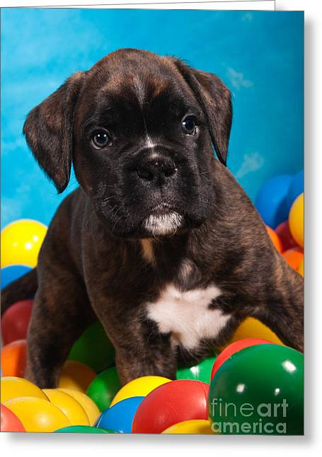 Wohnung Greeting Cards - little Boxer dog puppy Greeting Card by Doreen Zorn