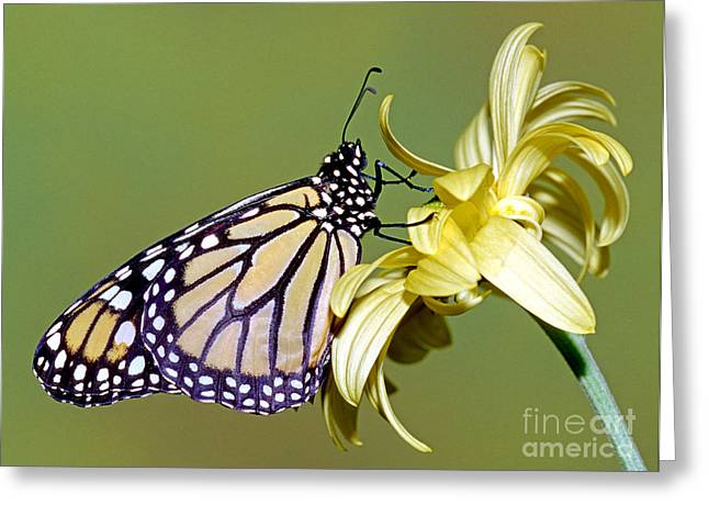 Wanderer Greeting Cards - Monarch Butterfly Greeting Card by Millard H. Sharp