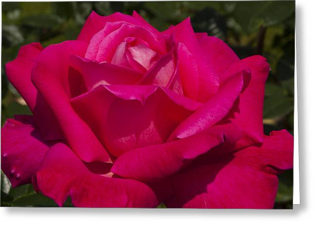 Blossom Greeting Cards - Pink Rose Greeting Card by Mandy Judson
