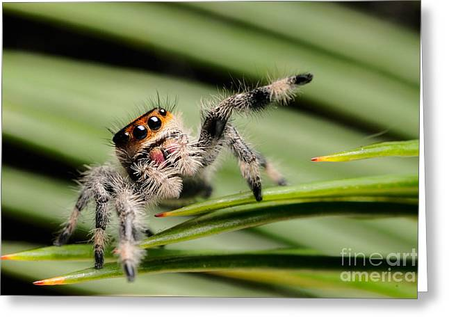 Morph Greeting Cards - Regal Jumping Spider Greeting Card by Scott Linstead