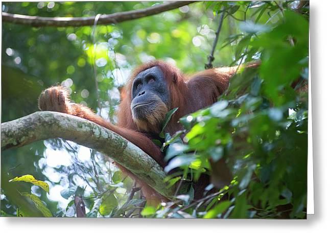 Sumatran Orangutan Greeting Card by Scubazoo