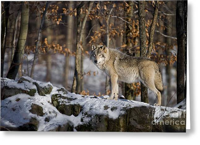 Black. Timber Wolf Photography Greeting Cards - Timber Wolf Greeting Card by Michael Cummings