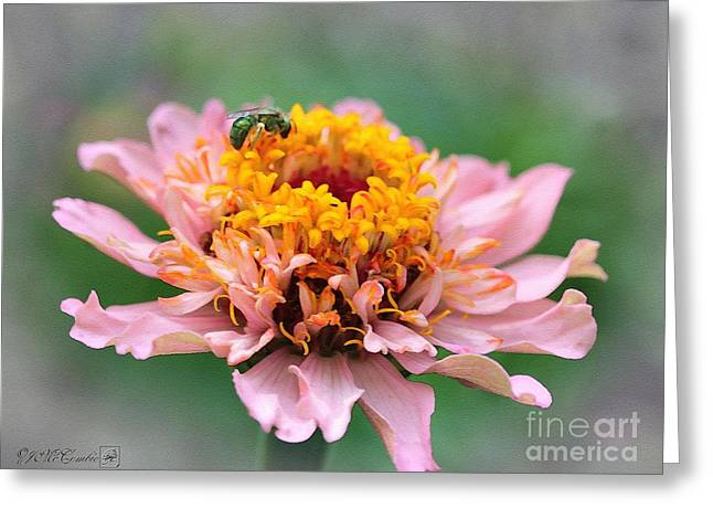 Sweat Digital Art Greeting Cards - Zinnia from the Candy Mix Greeting Card by J McCombie