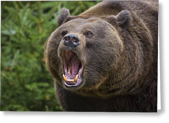 Growling Greeting Cards - 141114p041 Greeting Card by Arterra Picture Library