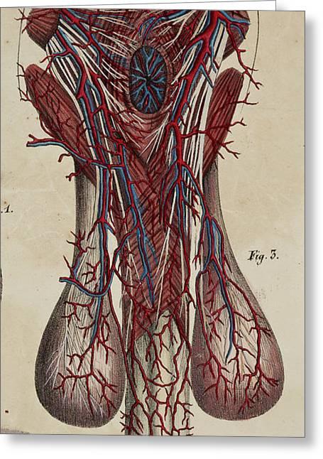 Anatomical Drawing Greeting Card by British Library