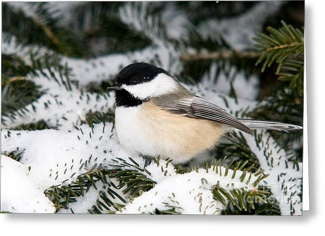 North Woods Greeting Cards - Black-capped Chickadee Greeting Card by Linda Freshwaters Arndt
