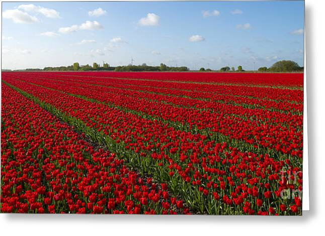 Spring Bulbs Greeting Cards - Field with tulips in spring Greeting Card by Jan Marijs
