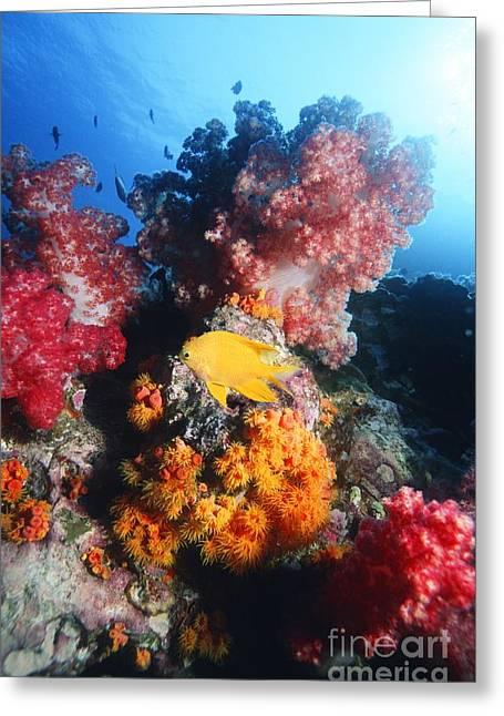 Reef Fish Greeting Cards - Golden Damselfish Greeting Card by Georgette Douwma