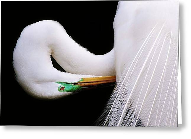 Paulette Thomas Photography Greeting Cards - Great White Egret Greeting Card by Paulette Thomas