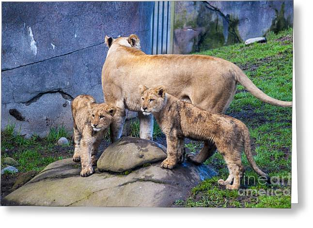 Lion Greeting Cards - Lion Cubs Greeting Card by Mandy Judson