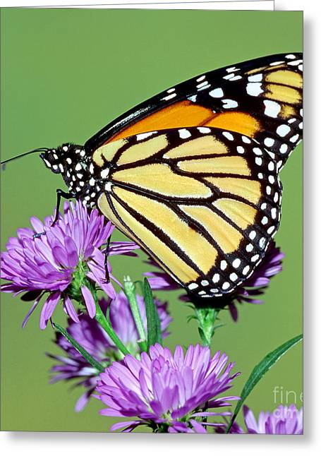 Wanderer Greeting Cards - Monarch Butterfly Greeting Card by Millard H Sharp