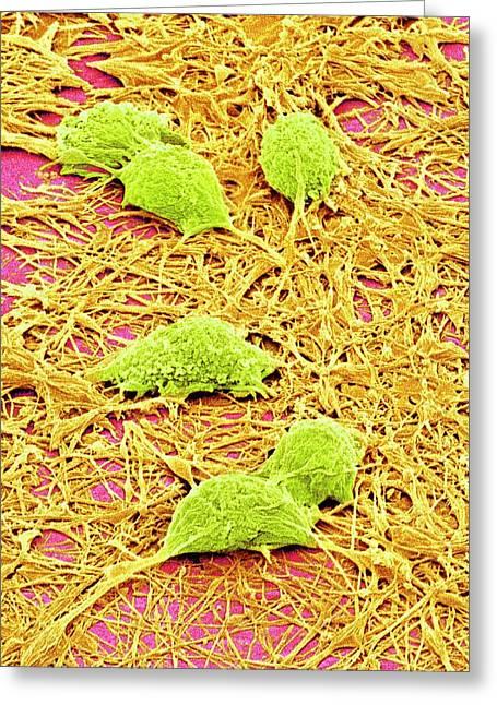 Nervous System Cells Greeting Card by Susumu Nishinaga