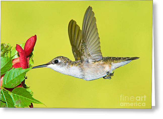 Hovering Greeting Cards - Ruby-throated Hummingbird Female Greeting Card by Millard H. Sharp