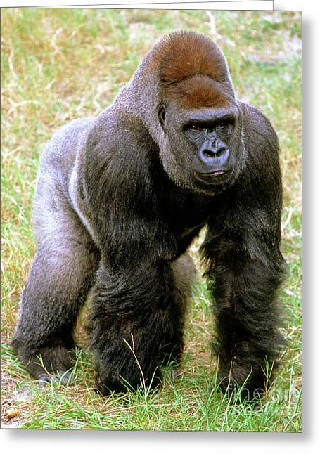 Recently Sold -  - Jacksonville Greeting Cards - Western Lowland Gorilla Greeting Card by Millard H. Sharp
