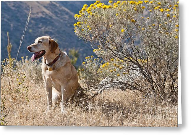 Breeds Greeting Cards - Yellow Labrador Retriever Greeting Card by William H. Mullins