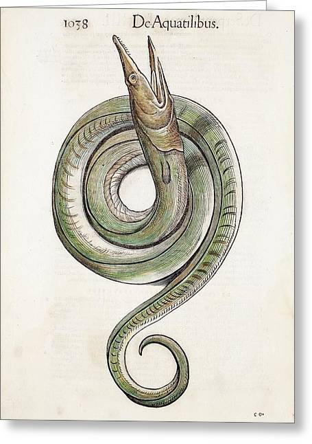 1568 Gesner First Animal Encyclopedia Greeting Card by Paul D Stewart