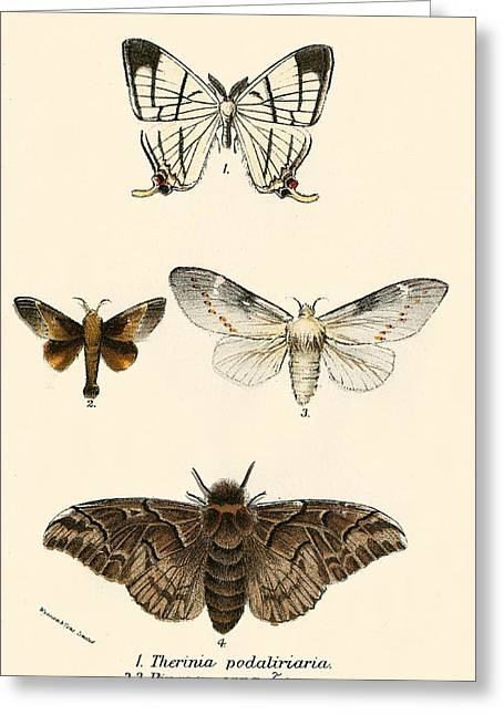Insects Paintings Greeting Cards - Butterflies Greeting Card by English School