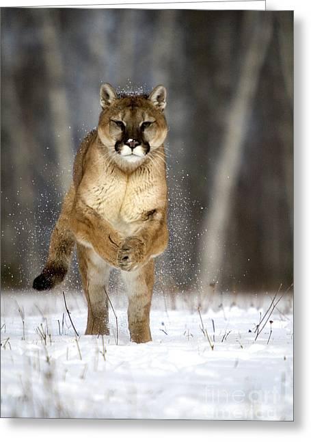Felis Greeting Cards - Cougar Greeting Card by Linda Freshwaters Arndt