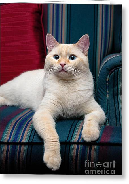Cat Greeting Cards - Flame Point Siamese Cat Greeting Card by Amy Cicconi