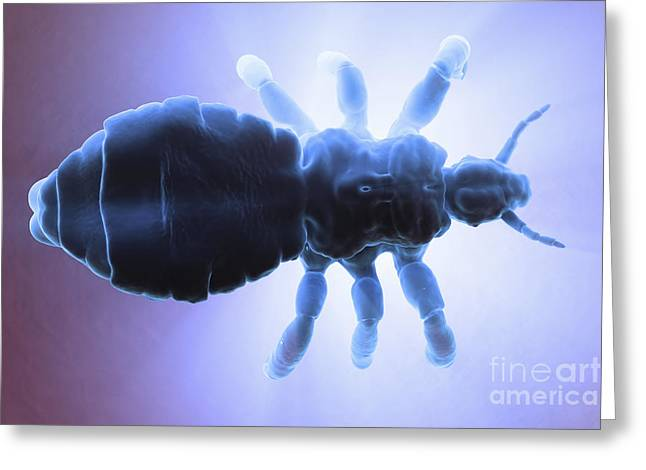 Parasites Greeting Cards - Head Louse Greeting Card by Science Picture Co