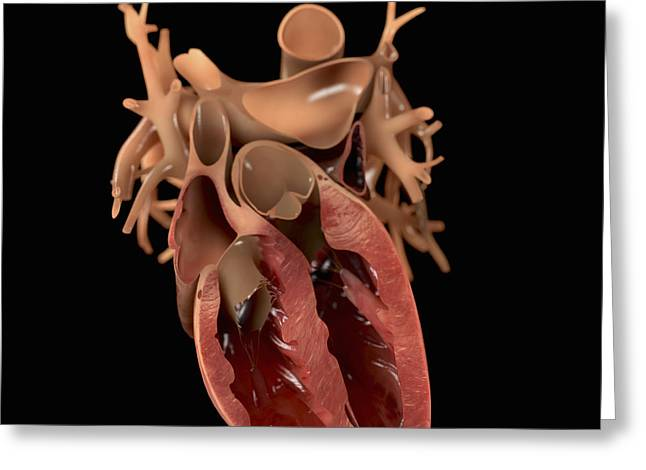Circulation Greeting Cards - Heart Anatomy Greeting Card by Science Picture Co