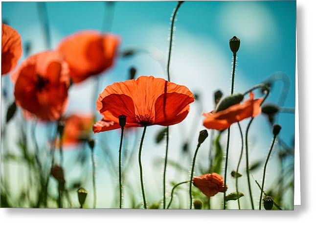 Luminous Greeting Cards - Poppy Meadow Greeting Card by Nailia Schwarz